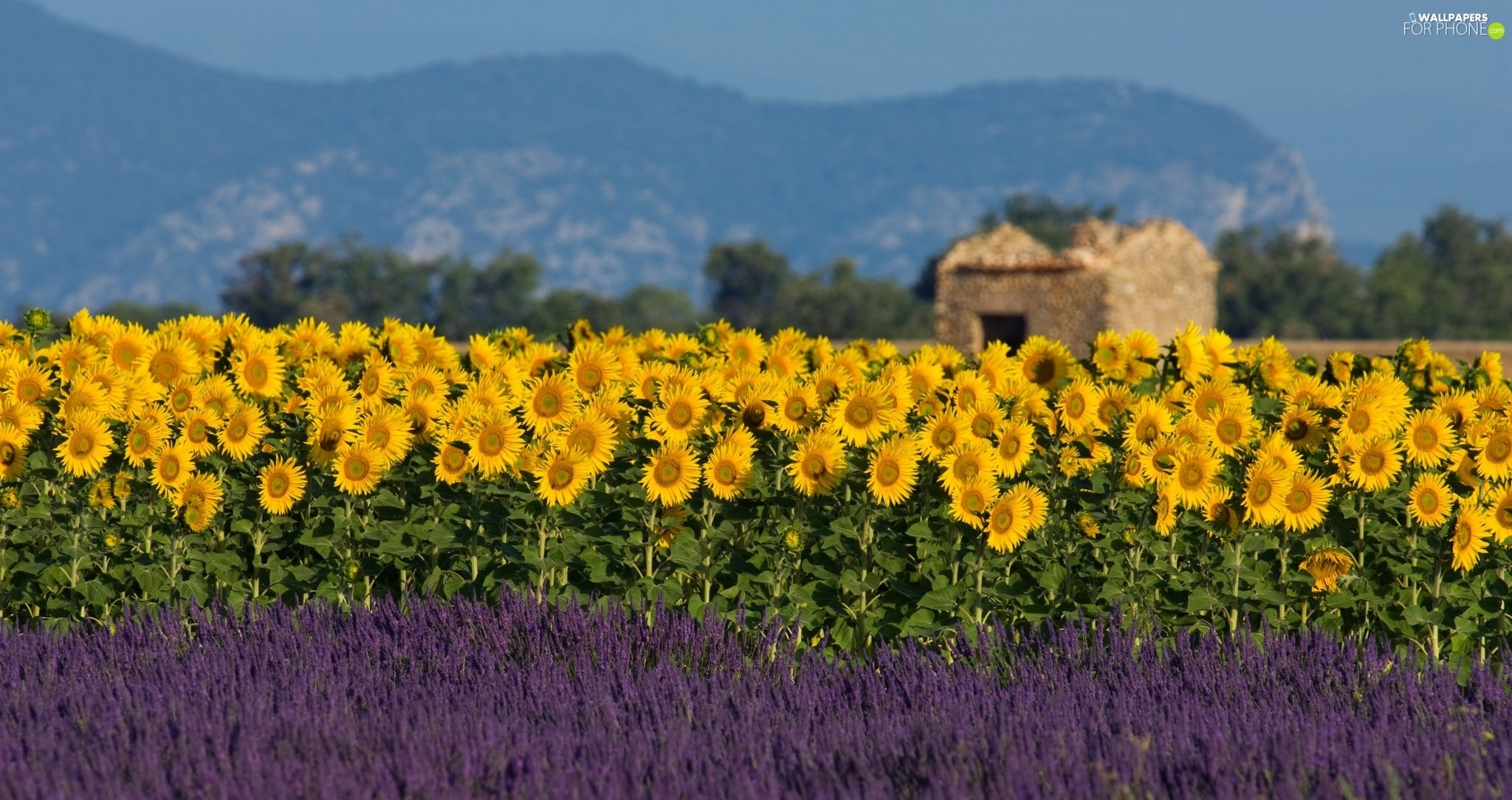 Nice sunflowers, Narrow-Leaf Lavender