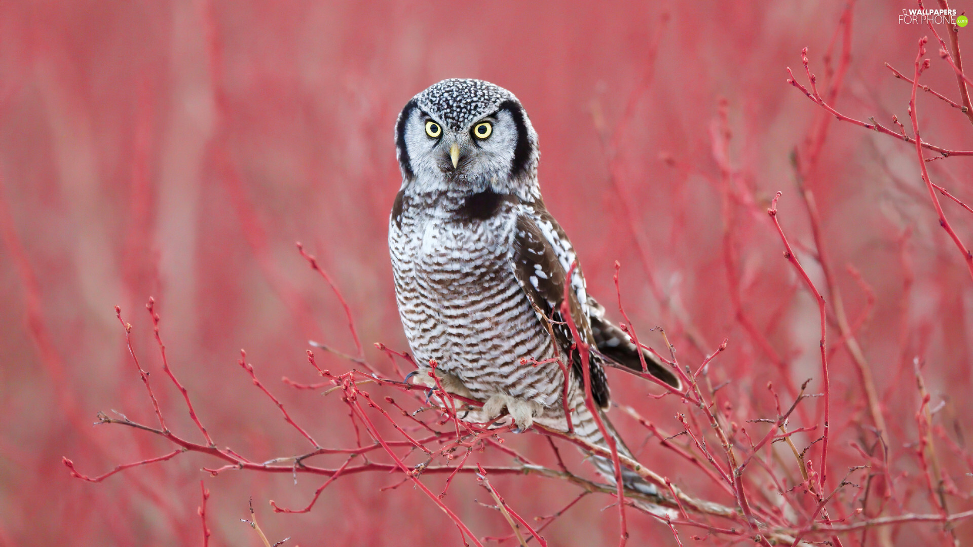 Bird, Red, Twigs, Northern hawk-owl