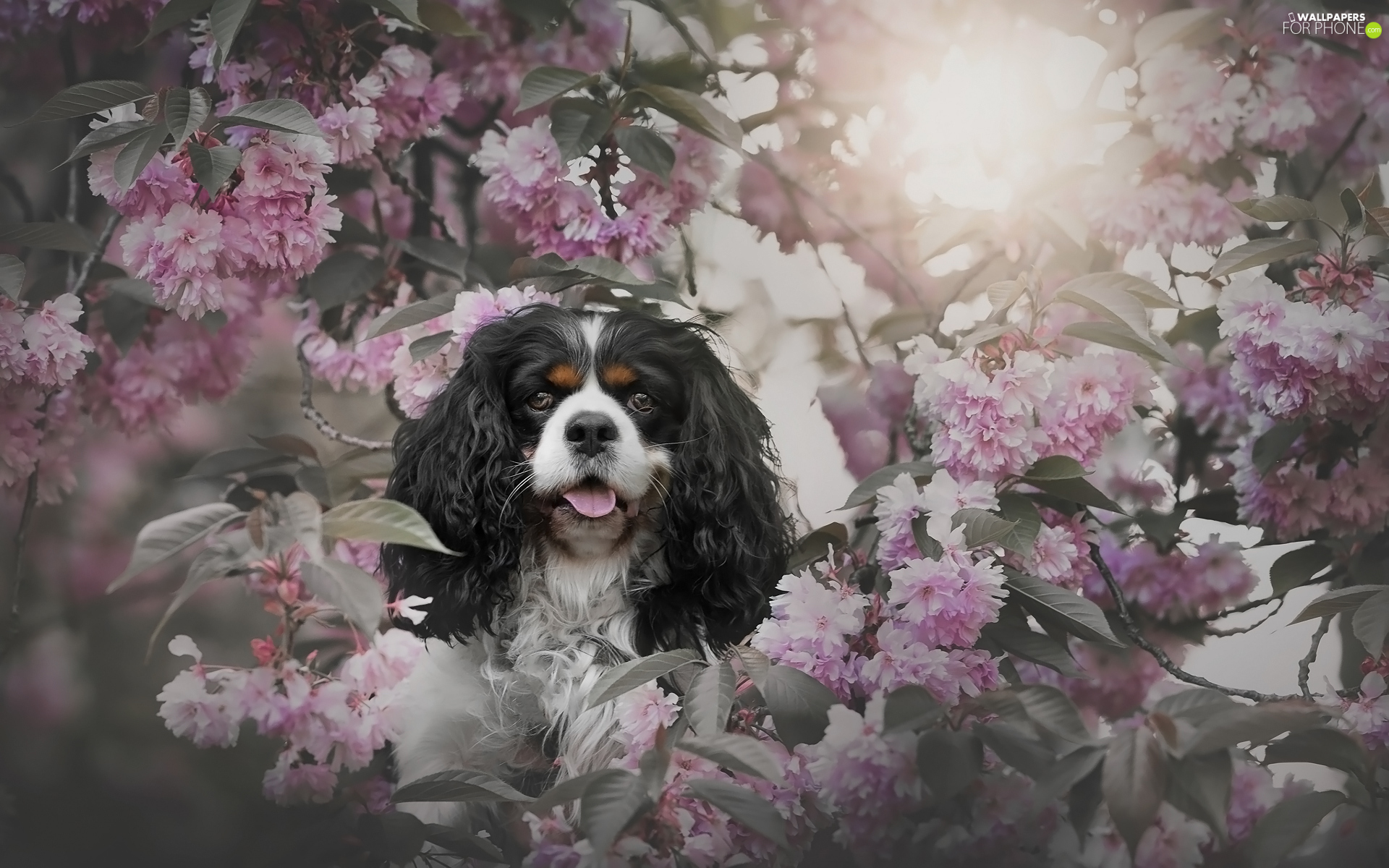 Flowers, Cavalier King Charles spaniel, cherry, Pink, dog, Fruit Tree, Twigs