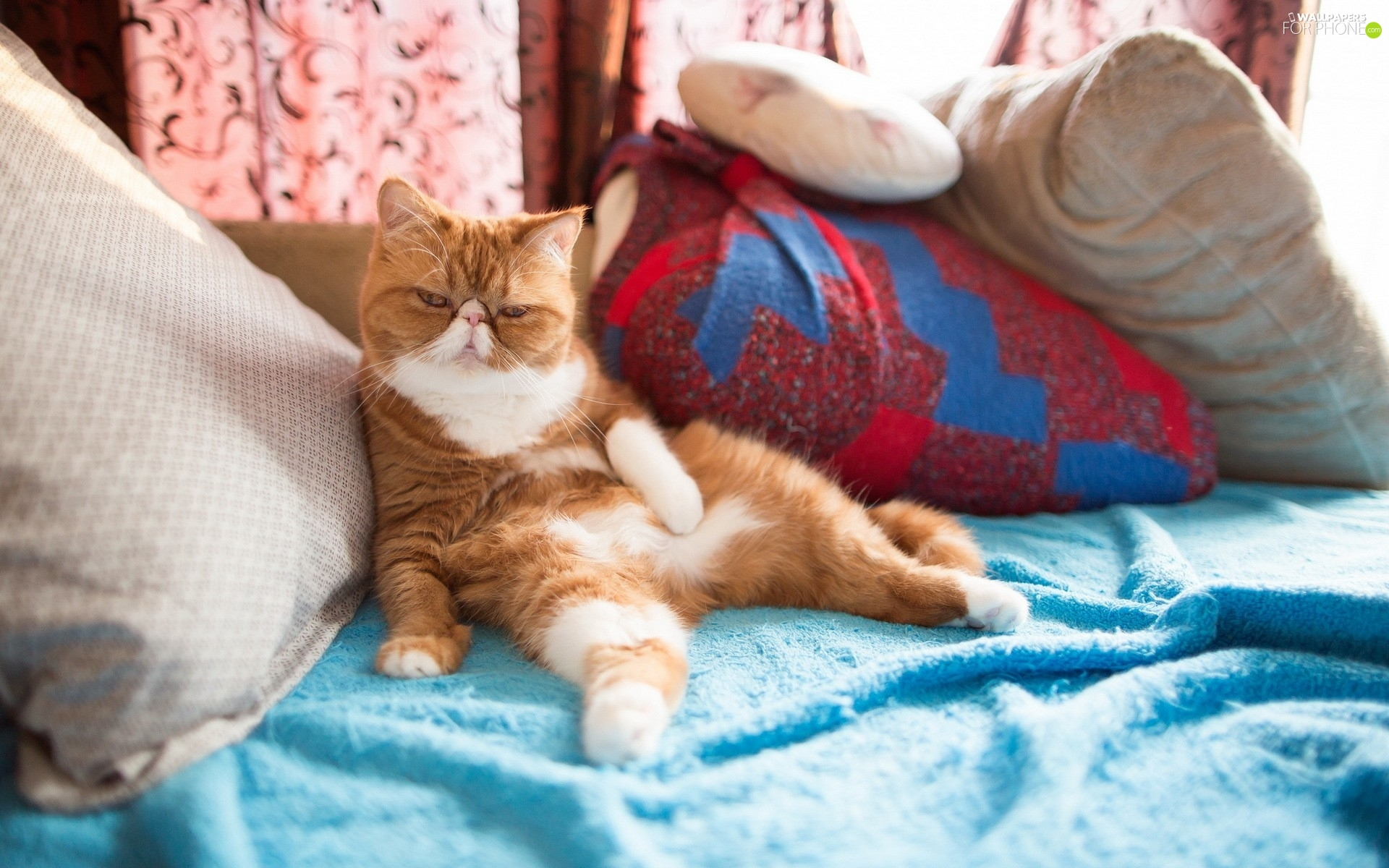 pillows, Red-white, Exotic Shorthair