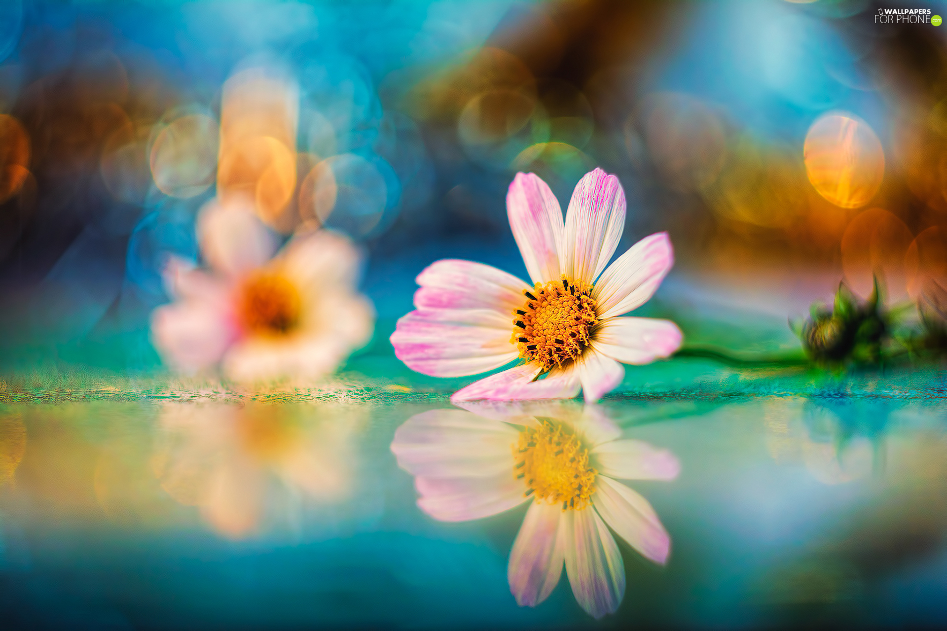 Pink-White, Bokeh, reflection, Colourfull Flowers