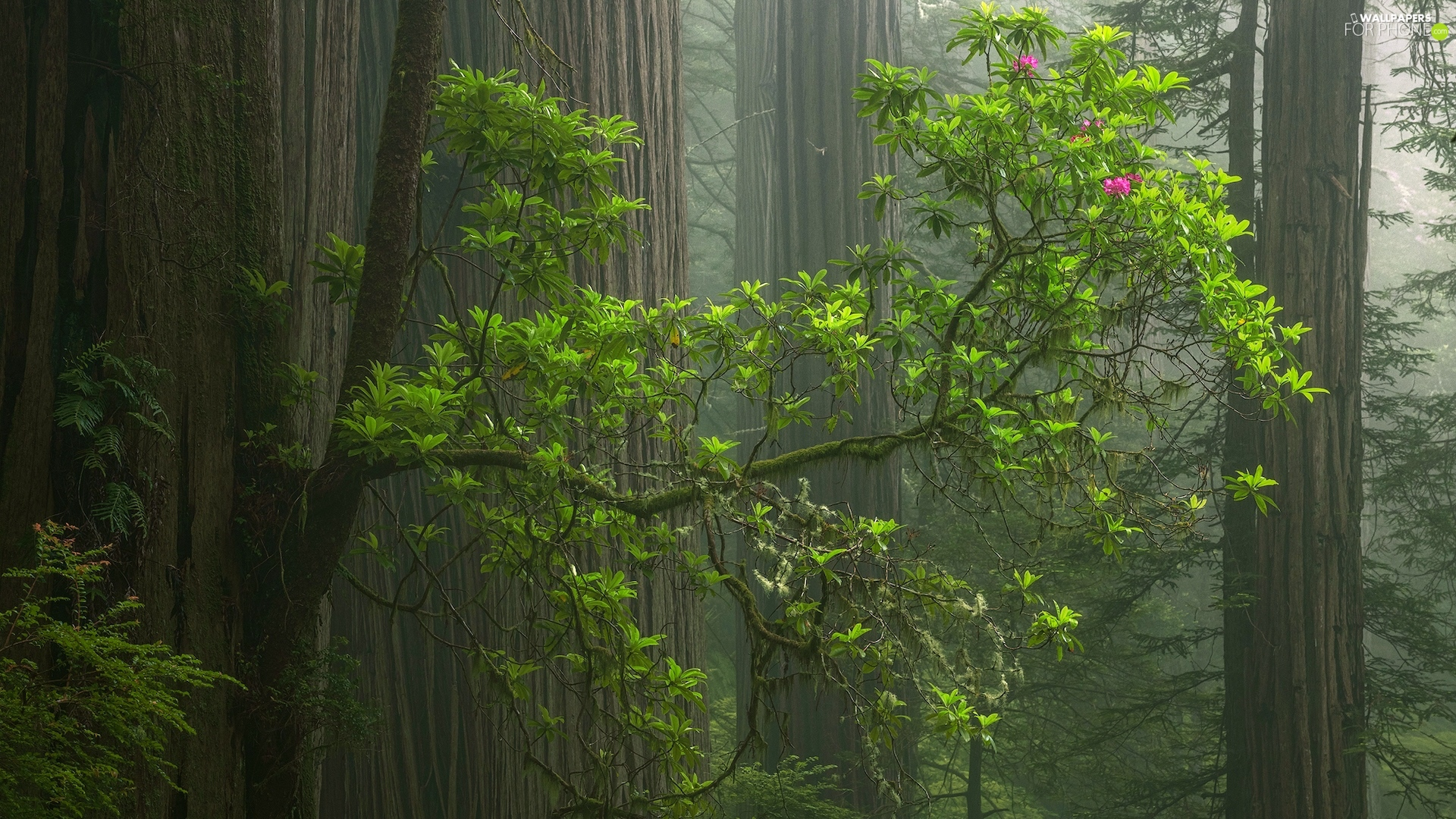 trees, forest, redwoods, rhododendron, viewes, Fog