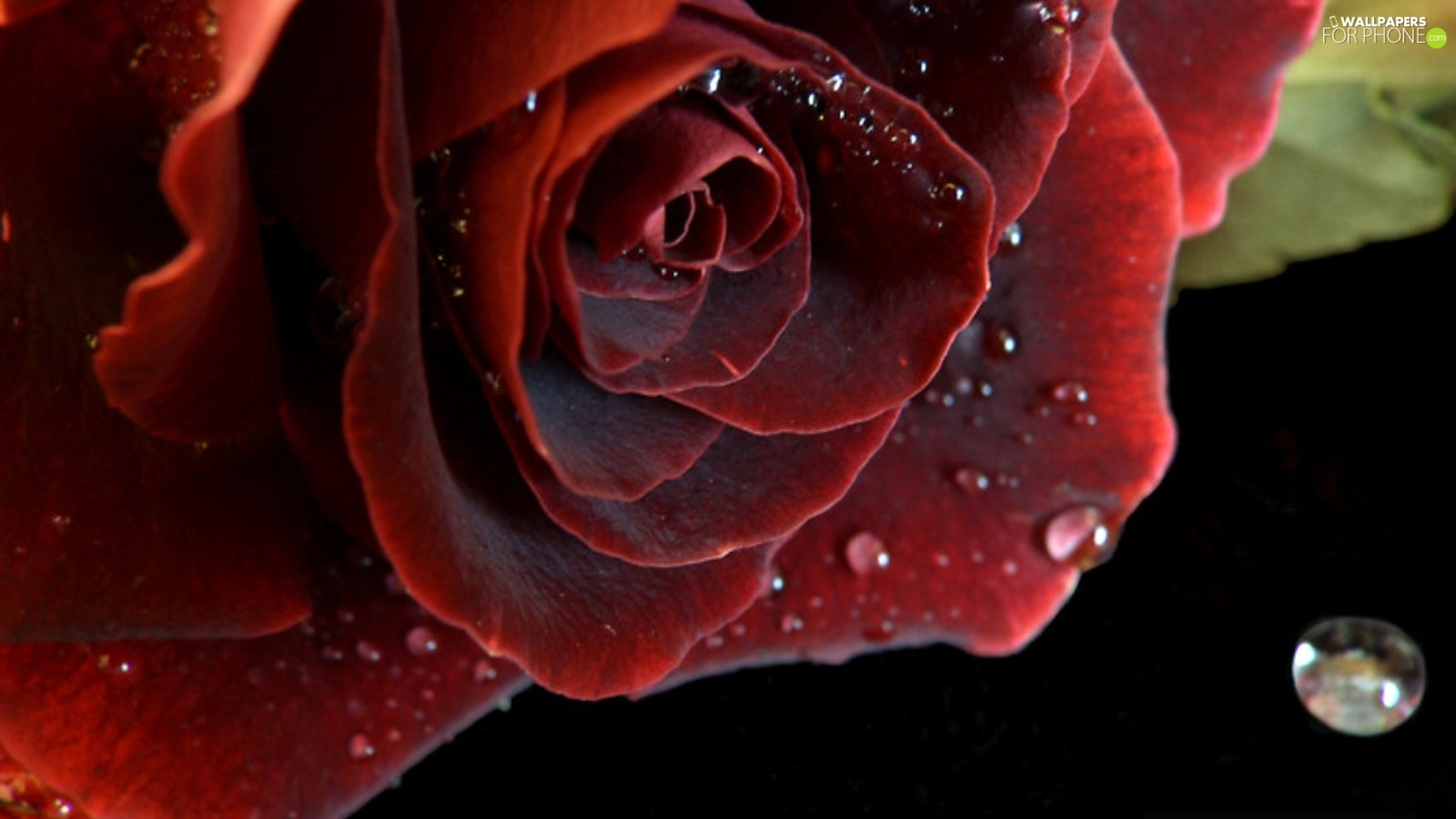 drops, red hot, roses