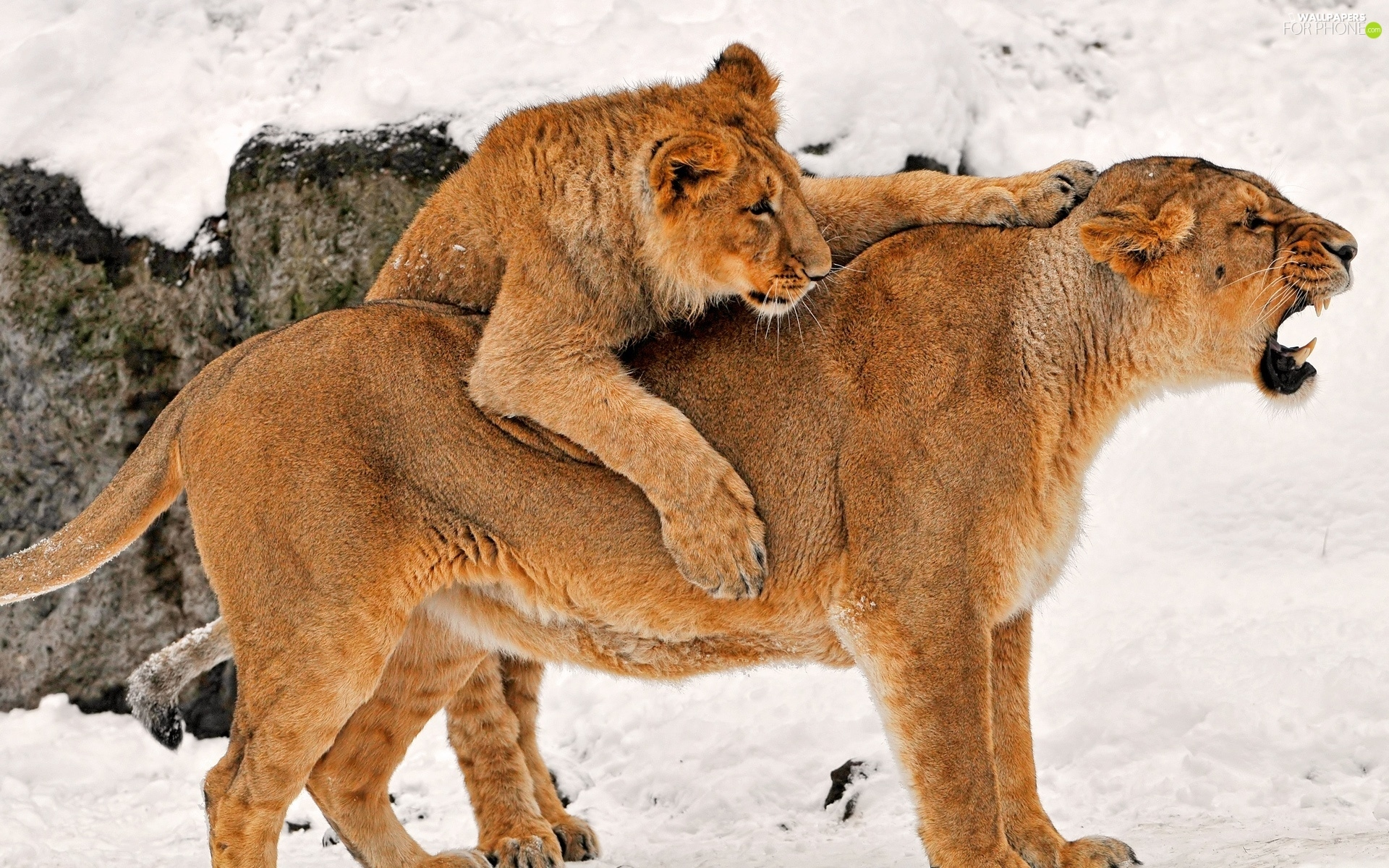snow, Lioness, young