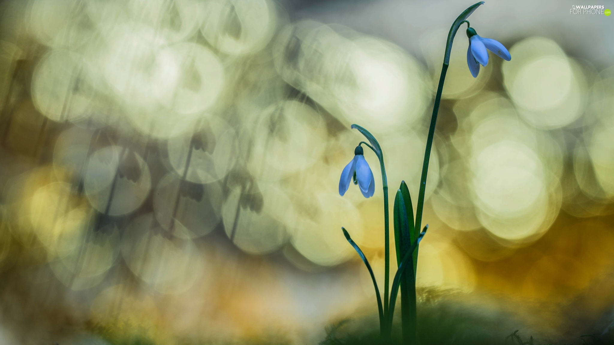 Flowers, snowdrops, Bokeh, Two cars