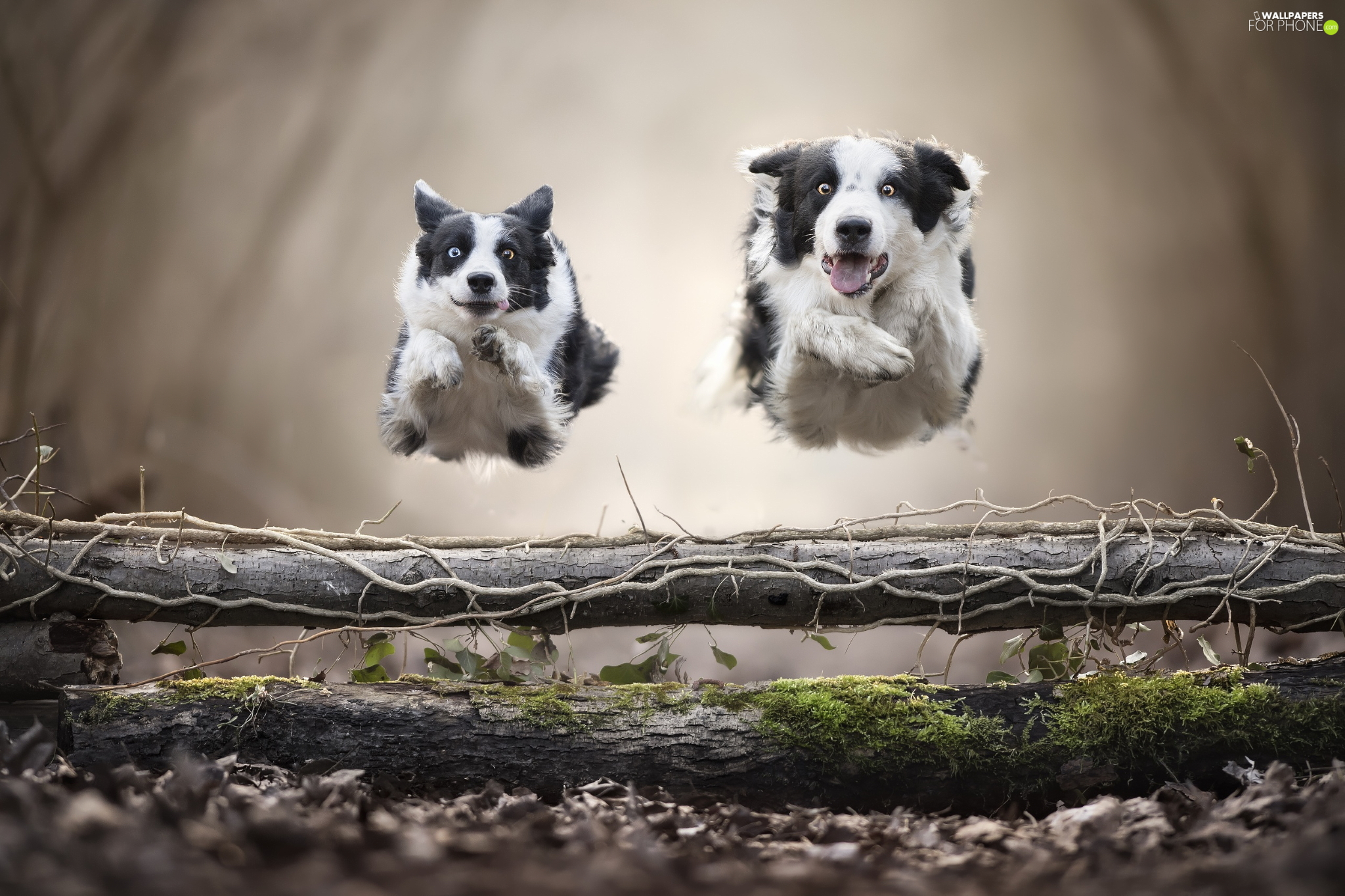 Dogs, Two cars, bar, jump, Border Collie, stretching