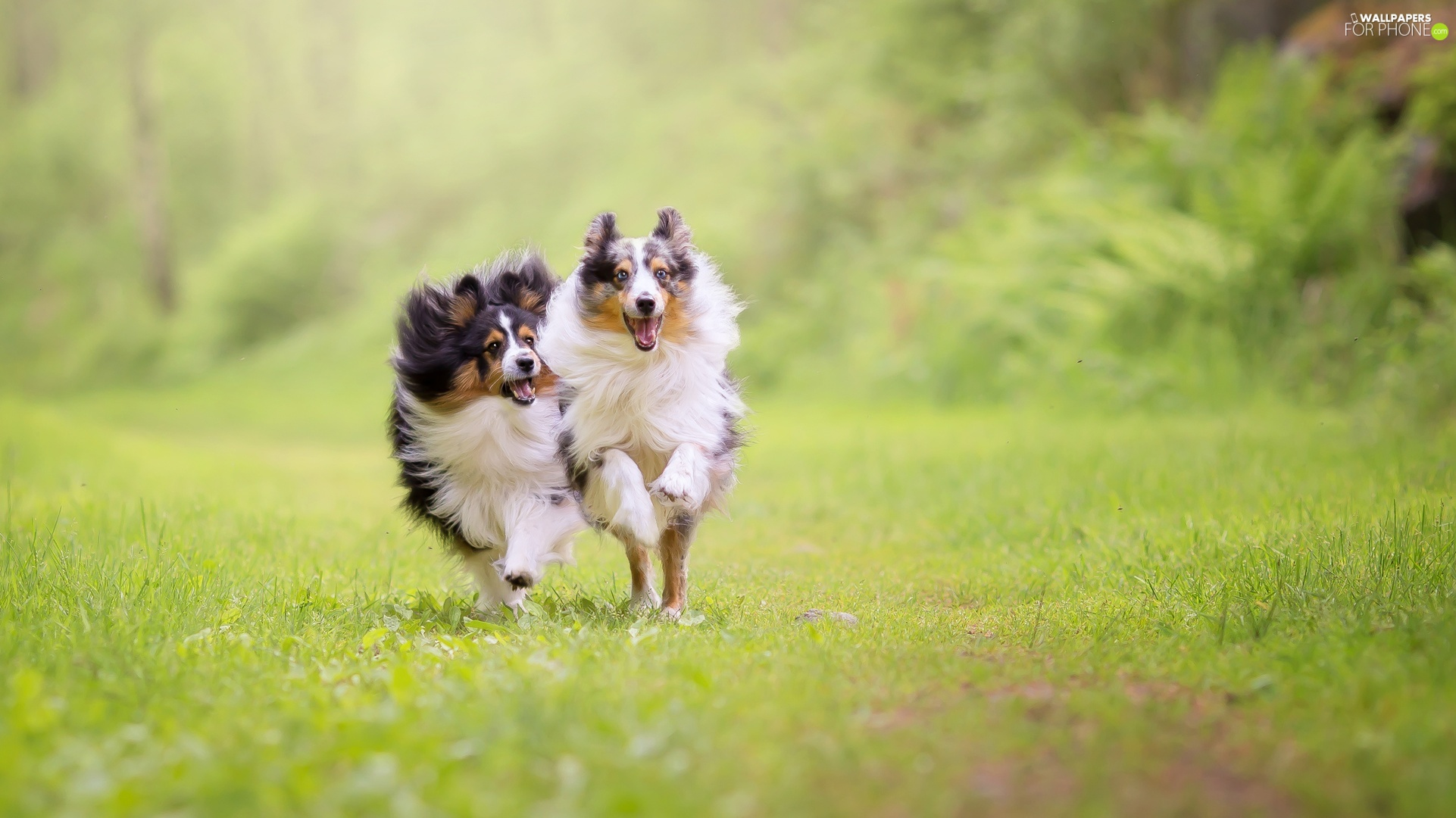 Shetland Sheepdogs, Dogs, stretching