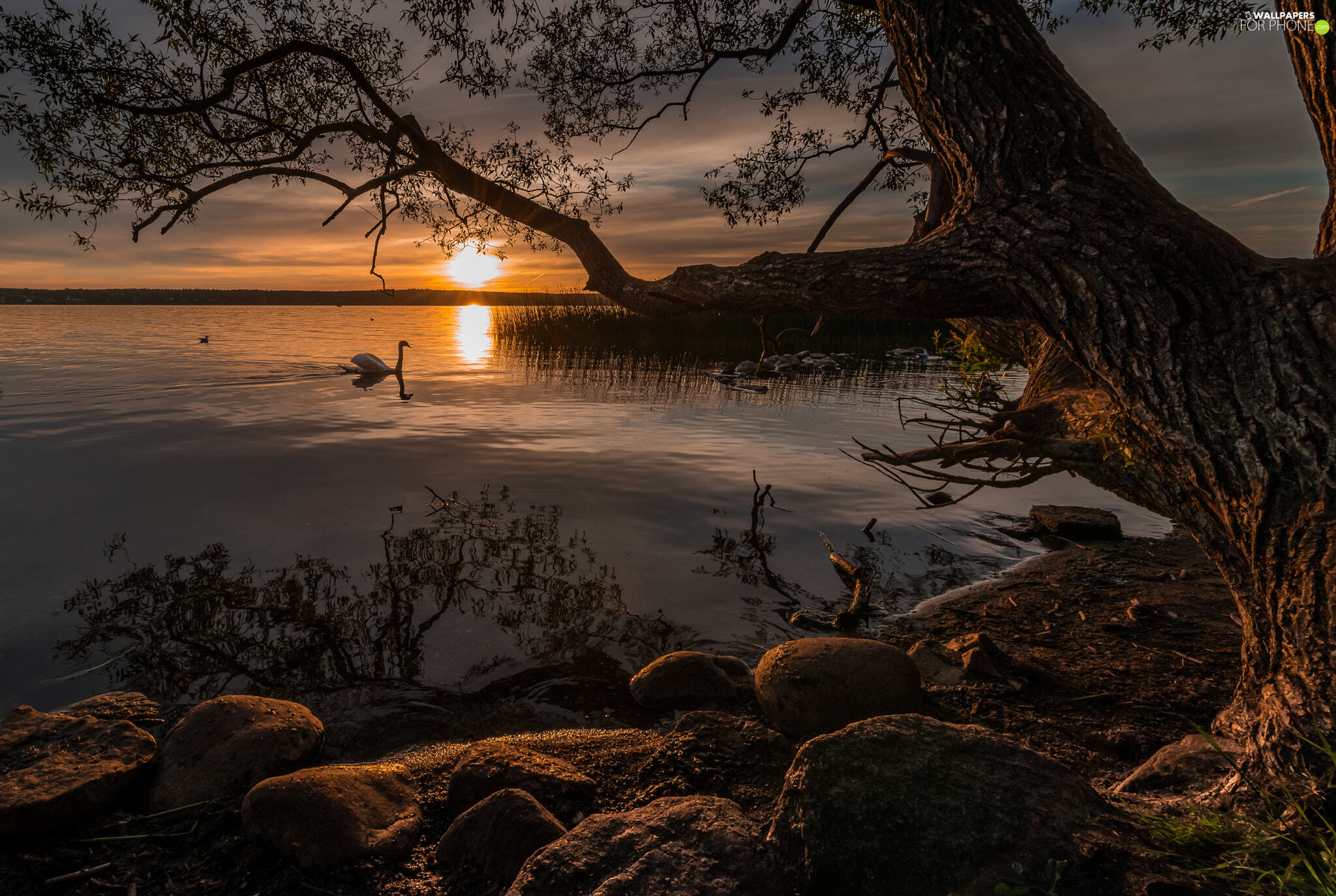 Stones, Great Sunsets, Swans, trees, lake