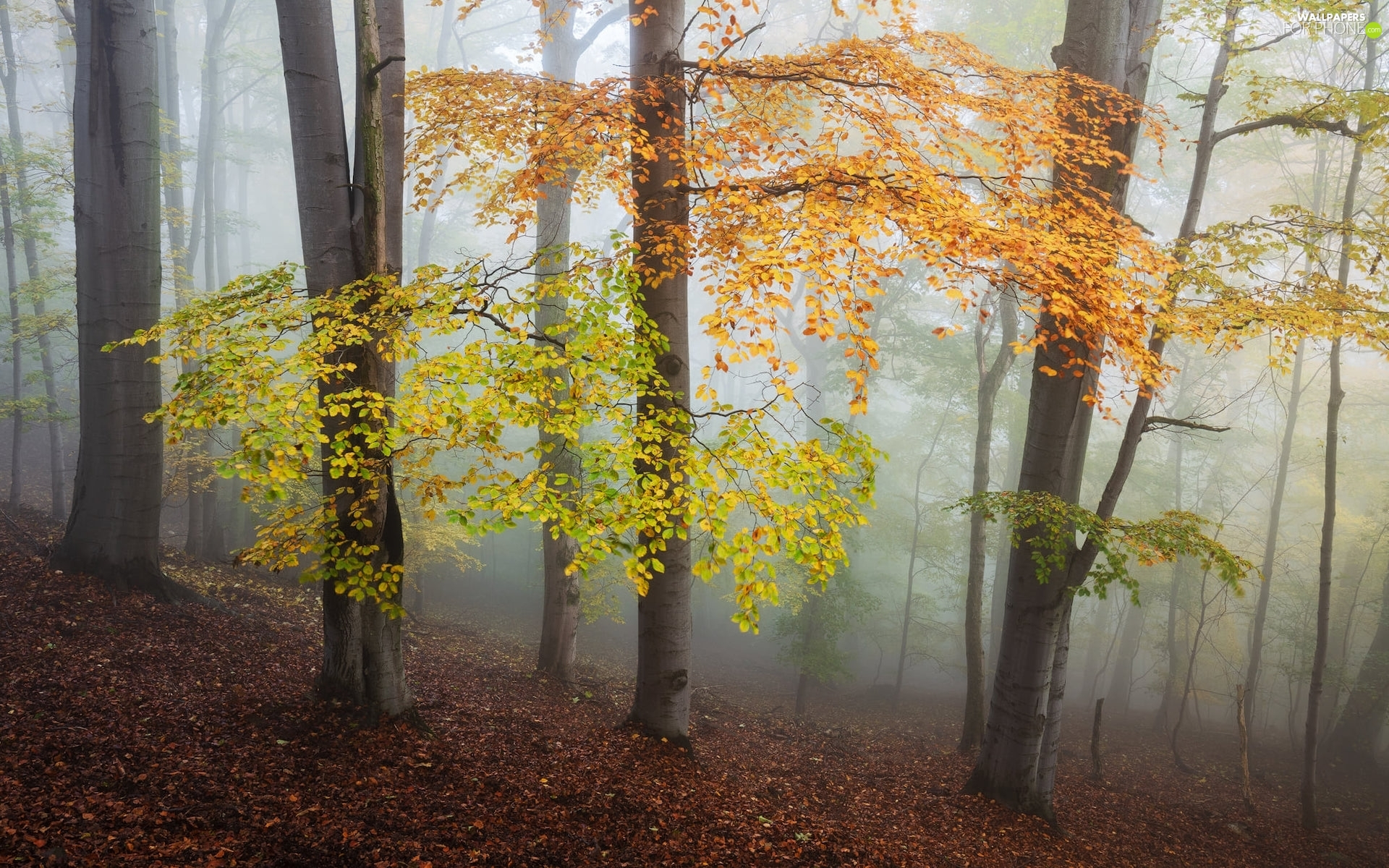 viewes, forest, Leaf, trees, autumn, color, Fog