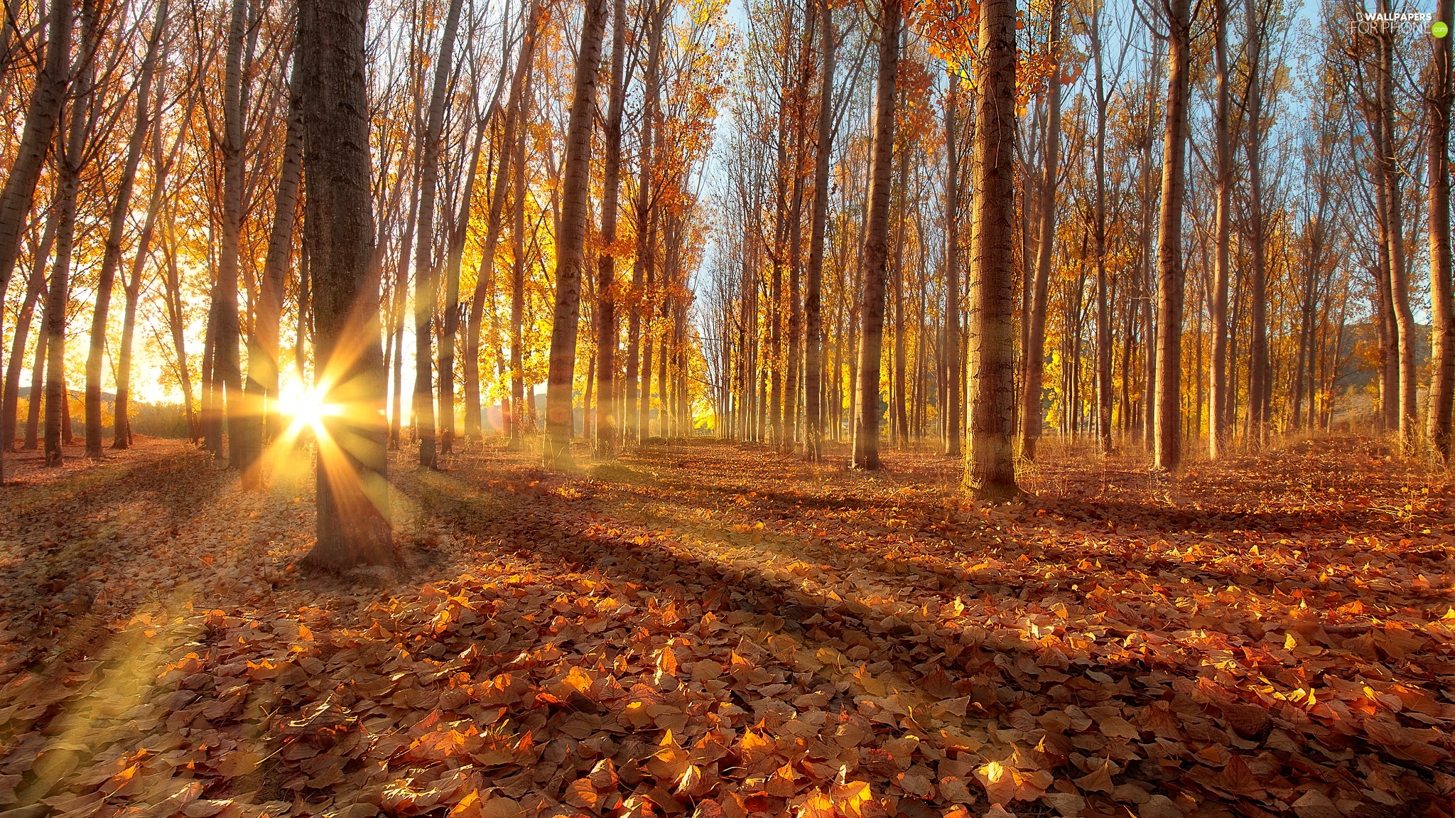 trees, autumn, Quaking Aspen, rays of the Sun, viewes, forest