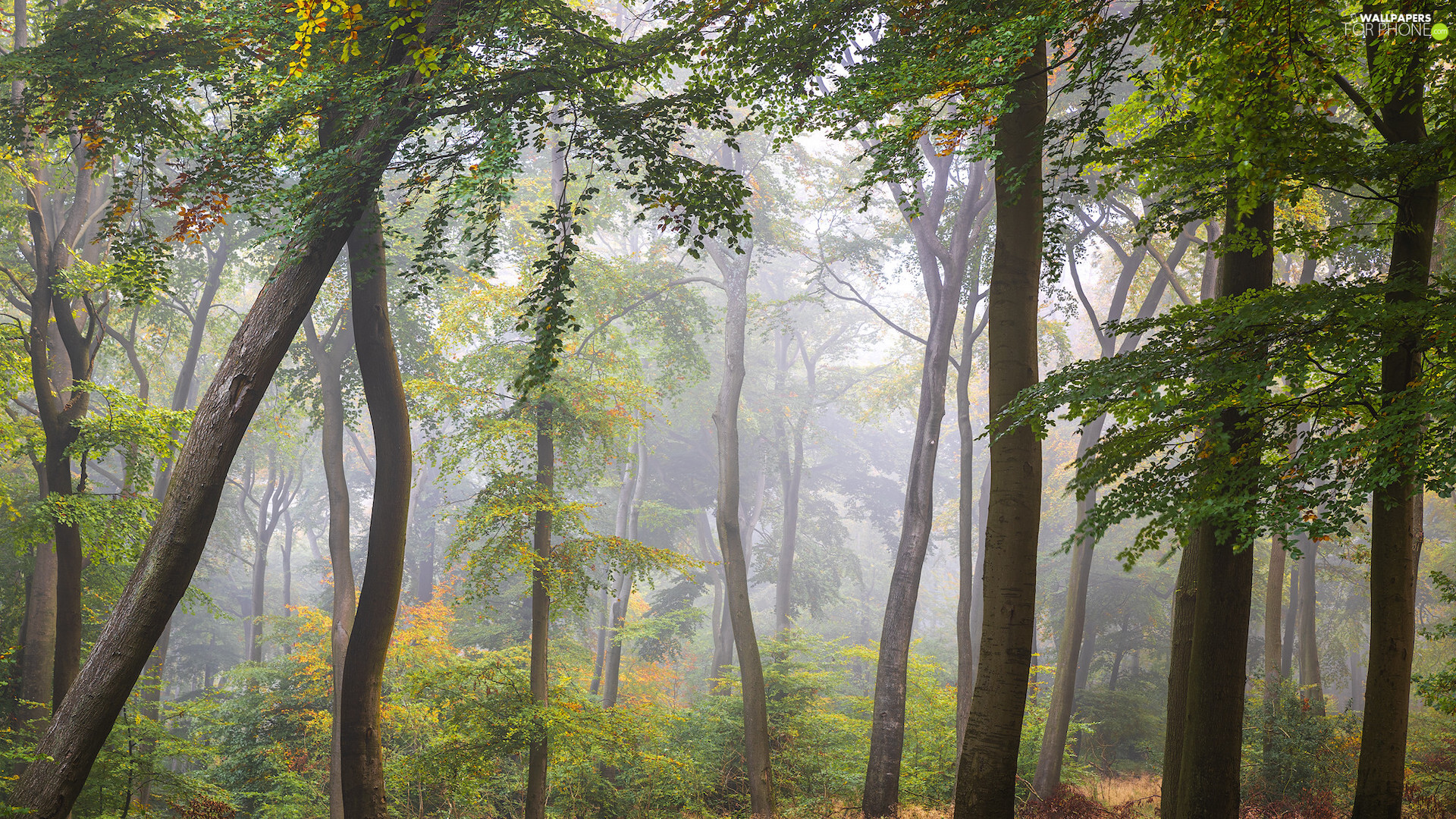 green ones, forest, viewes, Bush, trees, Fog