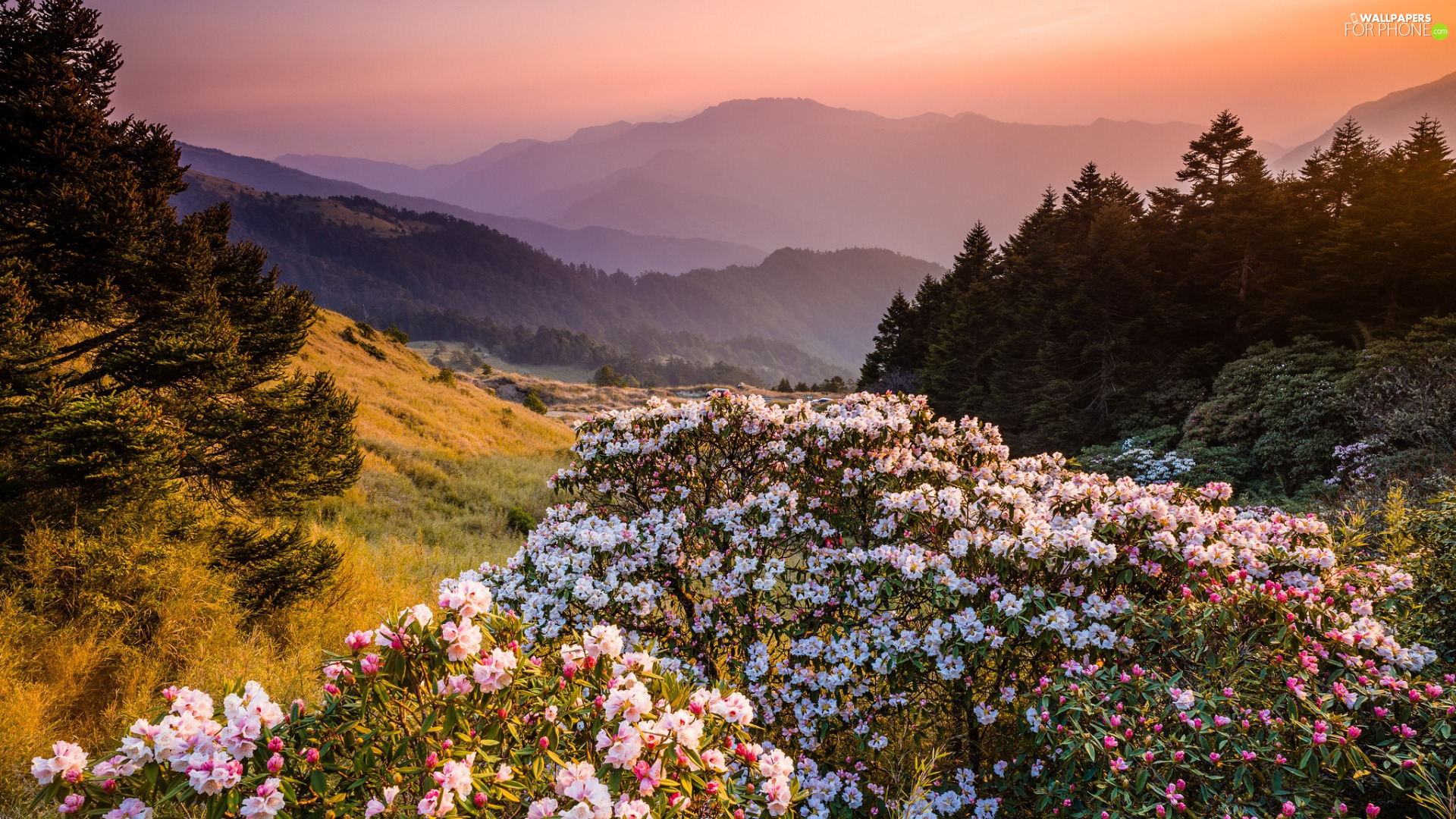 Rhododendrons, Flowers, trees, viewes, Mountains, Rhododendron