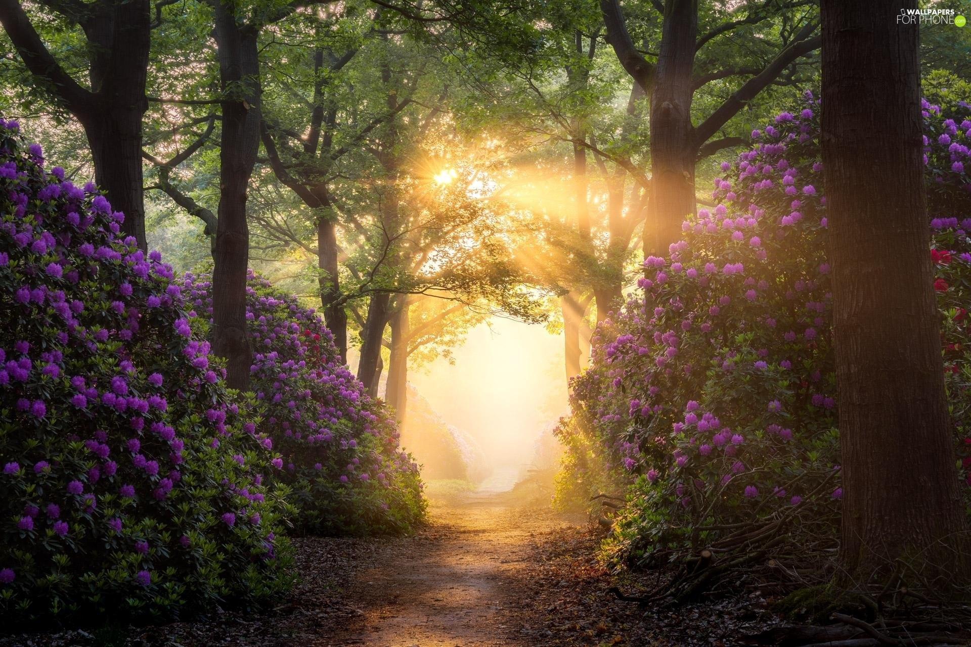 viewes, forest, Path, Rhododendron, light breaking through sky, trees