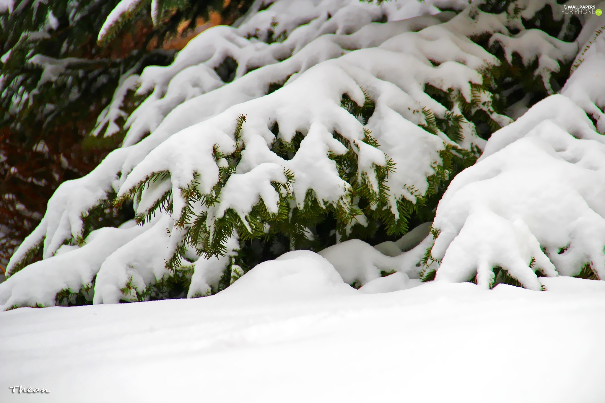 winter, snow, fir