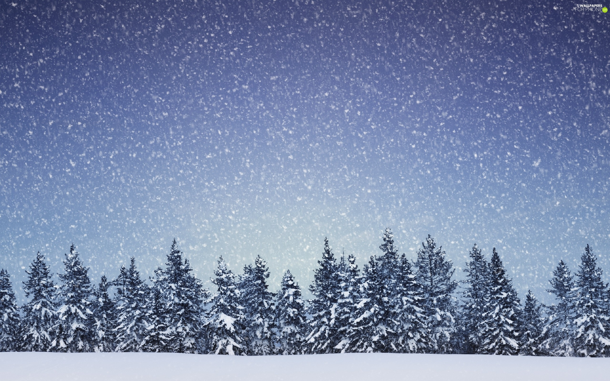 Spruces, snow, winter, forest